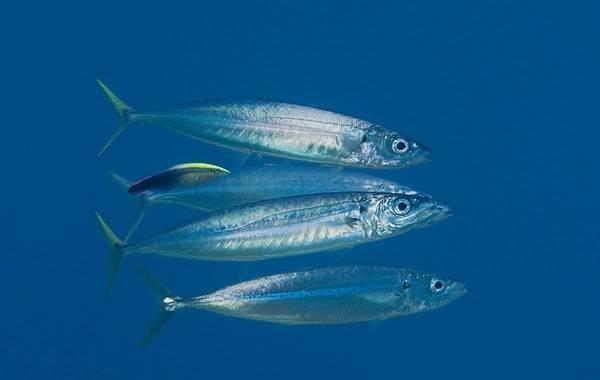 Ставрида-черноморская-рыба-Описание-особенности-виды-ловля-и-среда-обитания-3