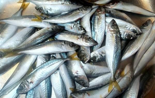 Ставрида-черноморская-рыба-Описание-особенности-виды-ловля-и-среда-обитания-6