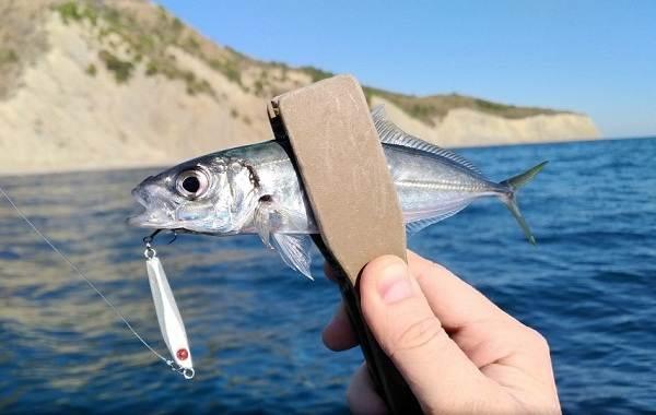 Ставрида-черноморская-рыба-Описание-особенности-виды-ловля-и-среда-обитания-7