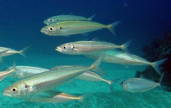 Ставрида-черноморская-рыба-Описание-особенности-виды-ловля-и-среда-обитания-9