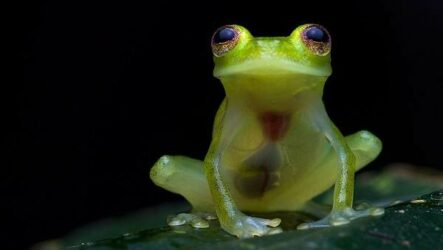 Стеклянная лягушка. Описание, особенности, образ жизни и среда обитания лягушки