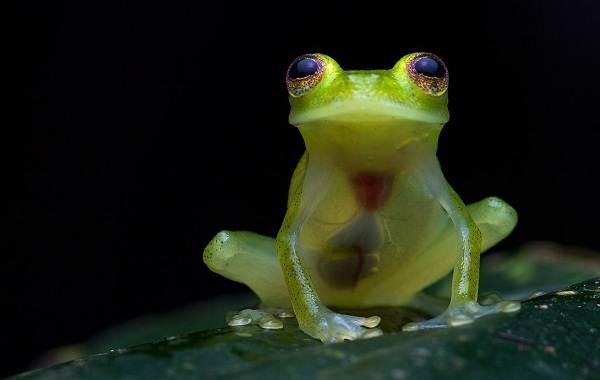 Стеклянная-лягушка-Описание-особенности-образ-жизни-и-среда-обитания-лягушки-1