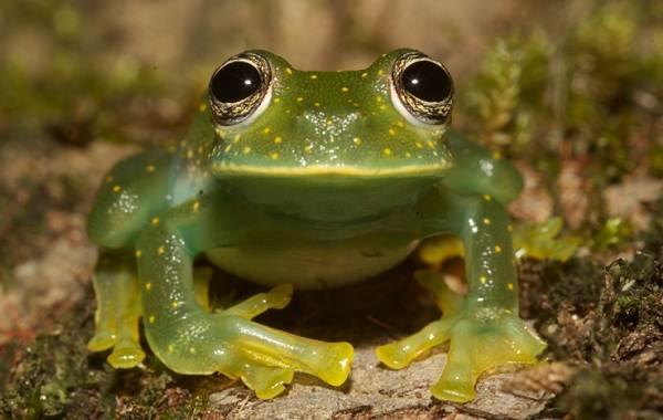 Стеклянная-лягушка-Описание-особенности-образ-жизни-и-среда-обитания-лягушки-14