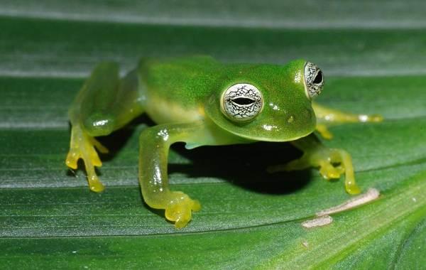 Стеклянная-лягушка-Описание-особенности-образ-жизни-и-среда-обитания-лягушки-2