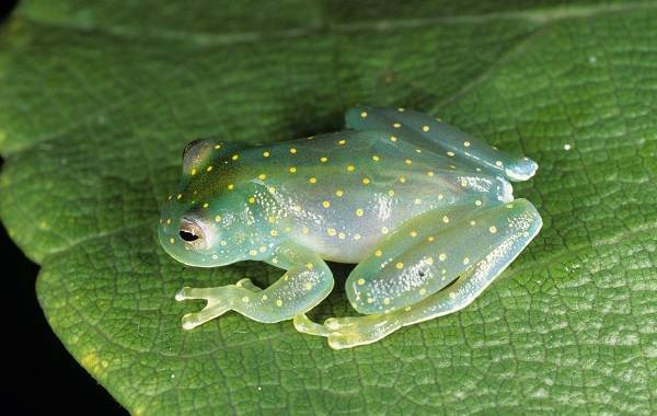 Стеклянная-лягушка-Описание-особенности-образ-жизни-и-среда-обитания-лягушки-3