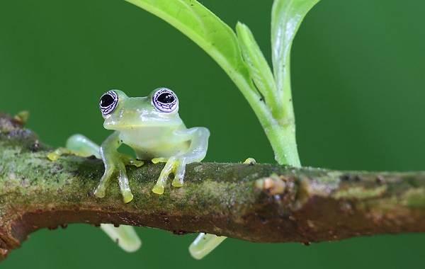 Стеклянная-лягушка-Описание-особенности-образ-жизни-и-среда-обитания-лягушки-5
