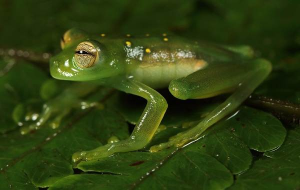 Стеклянная-лягушка-Описание-особенности-образ-жизни-и-среда-обитания-лягушки-6