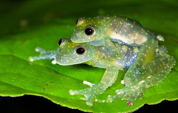 Стеклянная-лягушка-Описание-особенности-образ-жизни-и-среда-обитания-лягушки-67