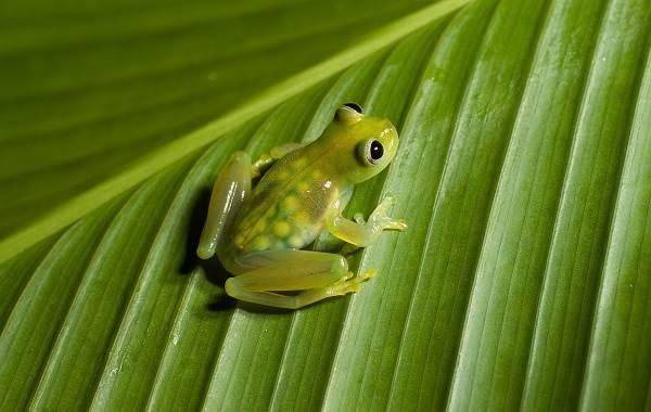 Стеклянная-лягушка-Описание-особенности-образ-жизни-и-среда-обитания-лягушки-8