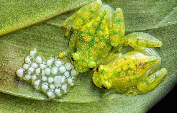Стеклянная-лягушка-Описание-особенности-образ-жизни-и-среда-обитания-лягушки-9