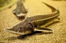Стерлядь рыба. Описание, особенности, виды, образ жизни и среда обитания стерляди
