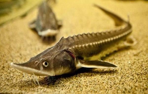 Стерлядь-рыба-Описание-особенности-виды-образ-жизни-и-среда-обитания-стерляди-1