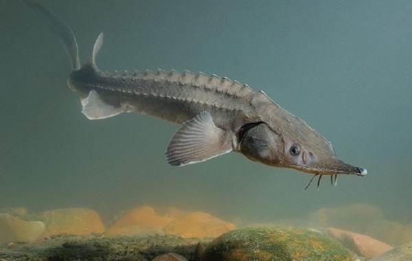 Стерлядь-рыба-Описание-особенности-виды-образ-жизни-и-среда-обитания-стерляди-2