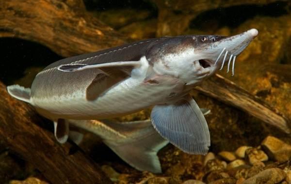 Стерлядь-рыба-Описание-особенности-виды-образ-жизни-и-среда-обитания-стерляди-3