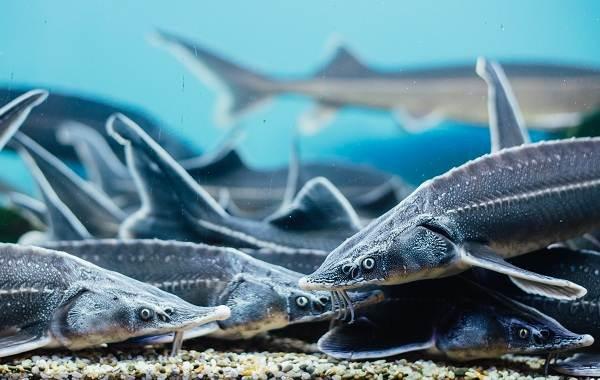 Стерлядь-рыба-Описание-особенности-виды-образ-жизни-и-среда-обитания-стерляди-4