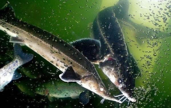 Стерлядь-рыба-Описание-особенности-виды-образ-жизни-и-среда-обитания-стерляди-9