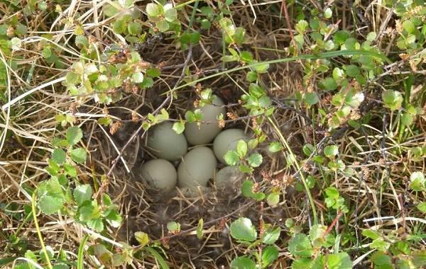 Свиязь-утка-Описание-особенности-виды-образ-жизни-и-среда-обитания-свиязи-11