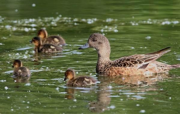 Свиязь-утка-Описание-особенности-виды-образ-жизни-и-среда-обитания-свиязи-12