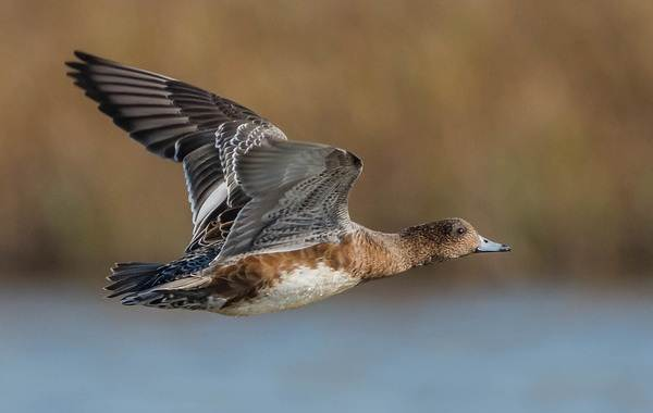 Свиязь-утка-Описание-особенности-виды-образ-жизни-и-среда-обитания-свиязи-14