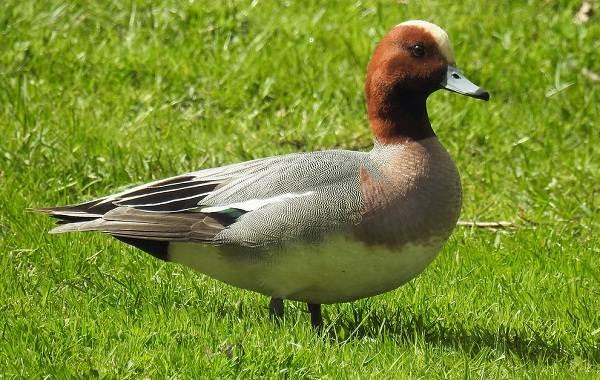 Свиязь-утка-Описание-особенности-виды-образ-жизни-и-среда-обитания-свиязи-3