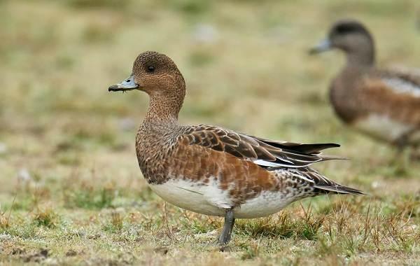 Свиязь-утка-Описание-особенности-виды-образ-жизни-и-среда-обитания-свиязи-5