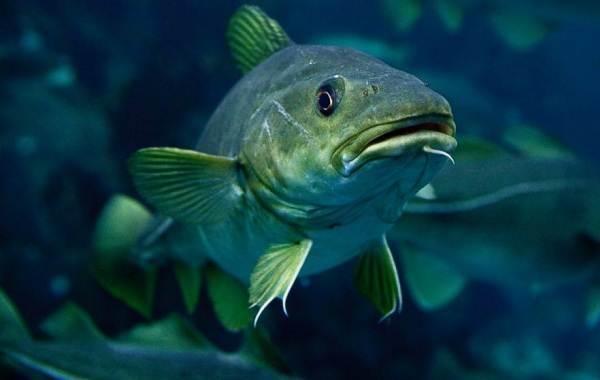 Треска-рыба-Описание-особенности-виды-образ-жизни-и-среда-обитания-трески-10