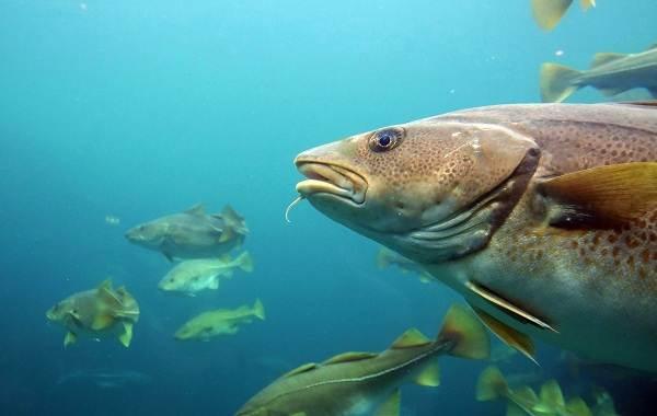 Треска-рыба-Описание-особенности-виды-образ-жизни-и-среда-обитания-трески-11