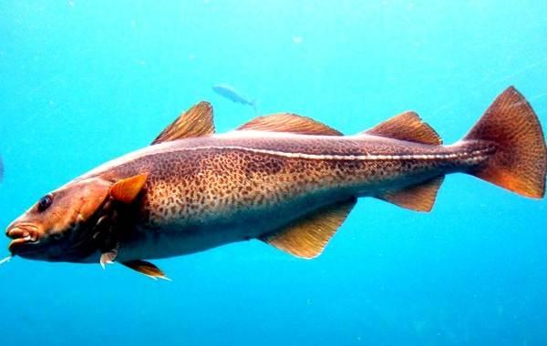 Треска-рыба-Описание-особенности-виды-образ-жизни-и-среда-обитания-трески-3