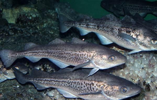 Треска-рыба-Описание-особенности-виды-образ-жизни-и-среда-обитания-трески-5