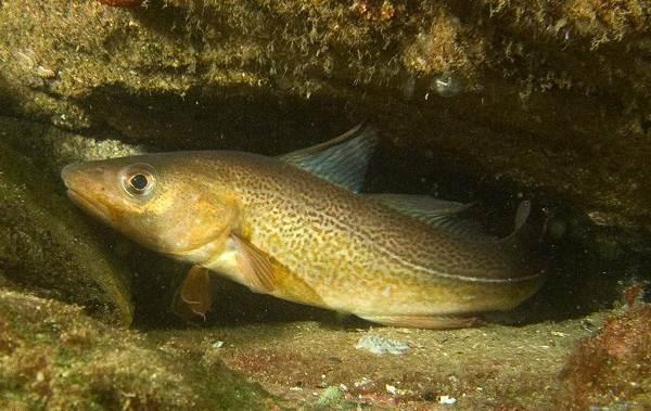 Треска-рыба-Описание-особенности-виды-образ-жизни-и-среда-обитания-трески-6