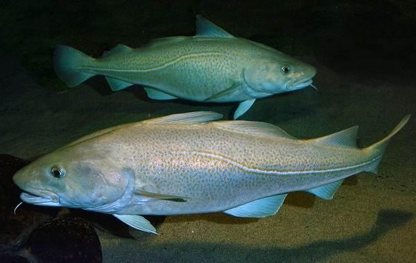 Треска-рыба-Описание-особенности-виды-образ-жизни-и-среда-обитания-трески-7