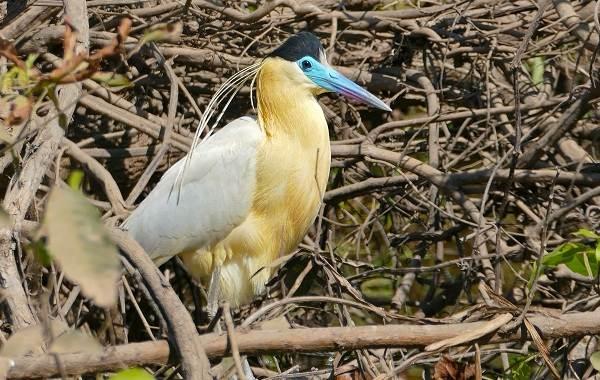 Тропические-птицы-Описание-названия-виды-и-фото-тропических-птиц-13
