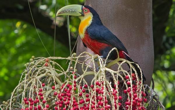 Тропические-птицы-Описание-названия-виды-и-фото-тропических-птиц-22