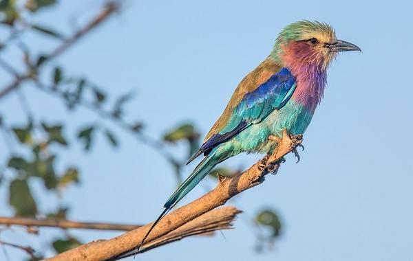 Тропические-птицы-Описание-названия-виды-и-фото-тропических-птиц-24