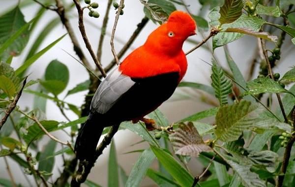 Тропические-птицы-Описание-названия-виды-и-фото-тропических-птиц-25