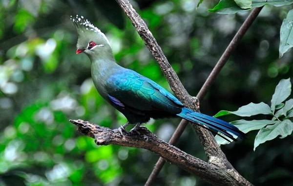 Тропические-птицы-Описание-названия-виды-и-фото-тропических-птиц-33