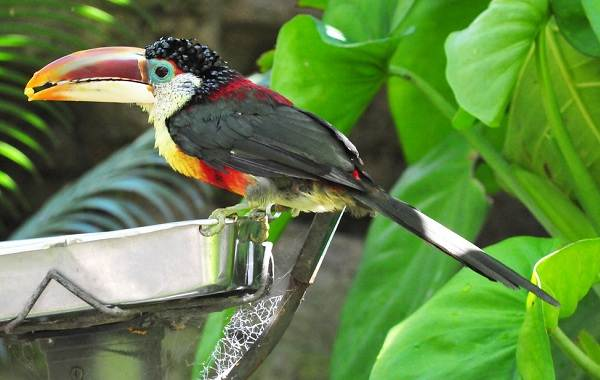 Тропические-птицы-Описание-названия-виды-и-фото-тропических-птиц-8