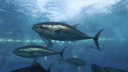 Тунец рыба. Описание, особенности, виды, образ жизни и среда обитания тунца