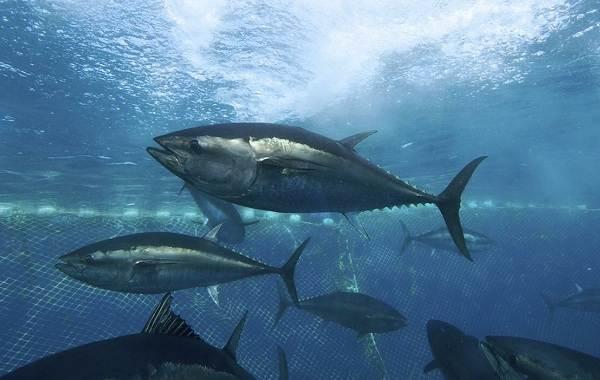 Тунец-рыба-Описание-особенности-виды-образ-жизни-и-среда-обитания-тунца-1