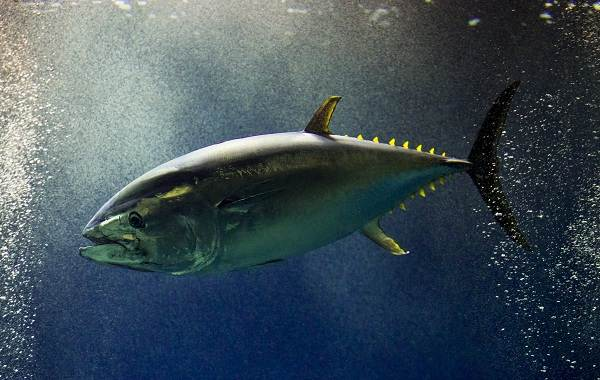 Тунец-рыба-Описание-особенности-виды-образ-жизни-и-среда-обитания-тунца-10