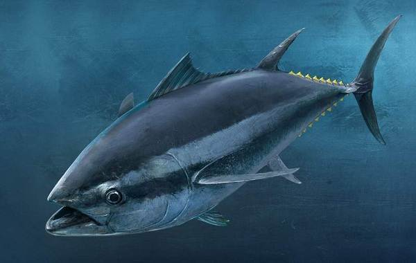 Тунец-рыба-Описание-особенности-виды-образ-жизни-и-среда-обитания-тунца-11