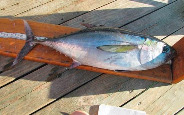 Тунец-рыба-Описание-особенности-виды-образ-жизни-и-среда-обитания-тунца-13