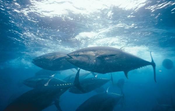 Тунец-рыба-Описание-особенности-виды-образ-жизни-и-среда-обитания-тунца-14