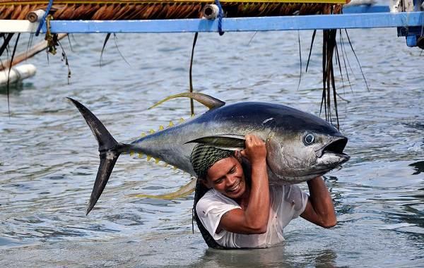 Тунец-рыба-Описание-особенности-виды-образ-жизни-и-среда-обитания-тунца-15