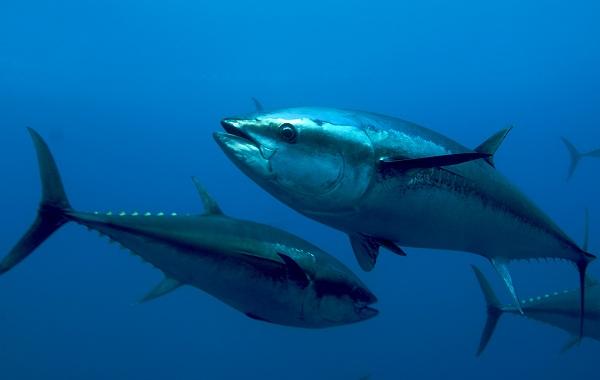 Тунец-рыба-Описание-особенности-виды-образ-жизни-и-среда-обитания-тунца-17