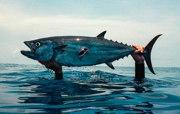 Тунец-рыба-Описание-особенности-виды-образ-жизни-и-среда-обитания-тунца-19