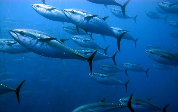 Тунец-рыба-Описание-особенности-виды-образ-жизни-и-среда-обитания-тунца-2