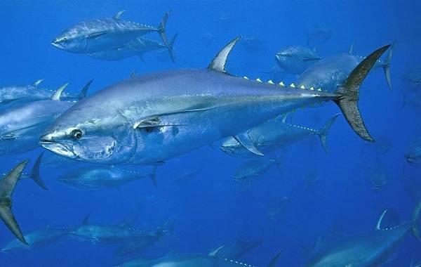 Тунец-рыба-Описание-особенности-виды-образ-жизни-и-среда-обитания-тунца-3