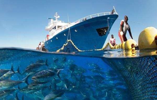Тунец-рыба-Описание-особенности-виды-образ-жизни-и-среда-обитания-тунца-4