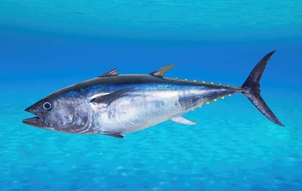 Тунец-рыба-Описание-особенности-виды-образ-жизни-и-среда-обитания-тунца-6